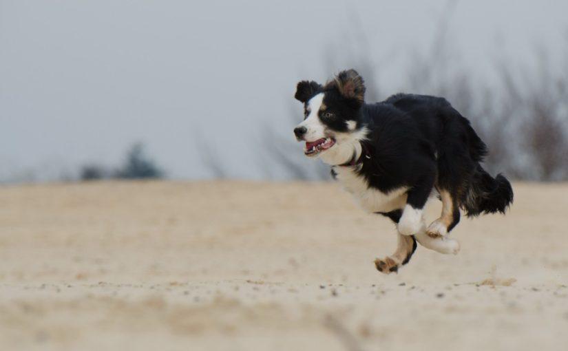 5 raças de cães que são bons corredores