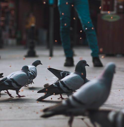 Controle de pombos: quais motivos de fazer-lo