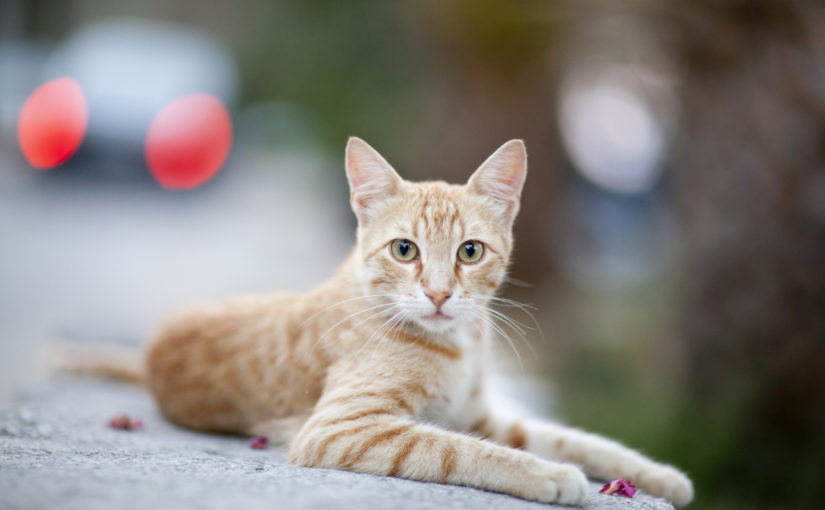 Conheça algumas das raças mais populares de gatos